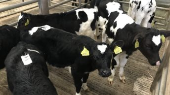 Calf trade: Friesian bull calves sell to €190/head at Kilkenny Mart