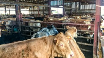 Feedlots: Drilling deeper into factory contribution to total beef kill