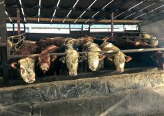 Beef trade: Steer and heifer quotes drop to 350c/kg