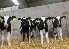 Calf trade: Friesian bull calves suitable for export 'making €30-60/head'