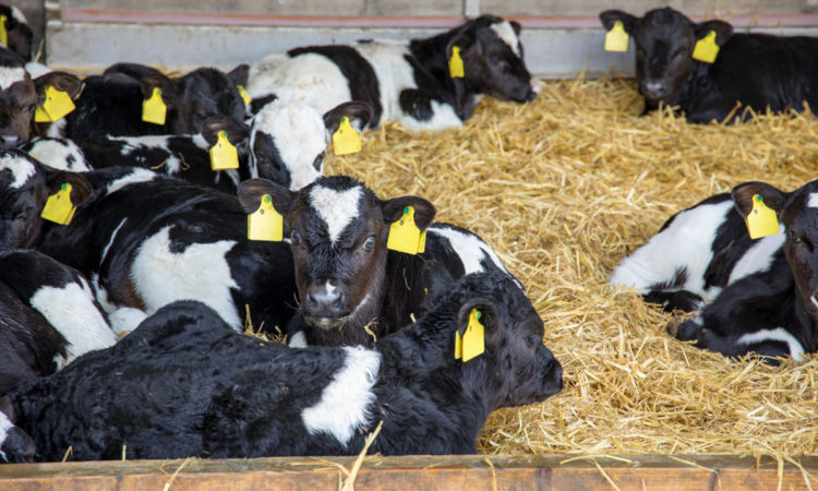 What are processors doing to address the dairy calf dilemma?