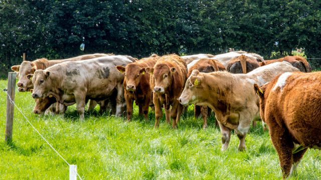 Does finishing cattle off grass impact the eating quality of beef?