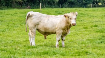 40,000 antibiotic-free Irish beef cattle strengthen EU market