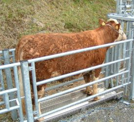 1 week left to submit BEEP-S and dairy-beef calf weights