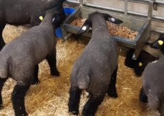 Ewe-reka: How artificially reared lambs can achieve 550g a day