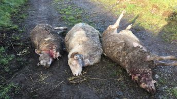 Graphic images: Sheep killed and injured in recurring dog attacks