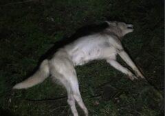 狗群攻击在基尔肯尼被扼杀