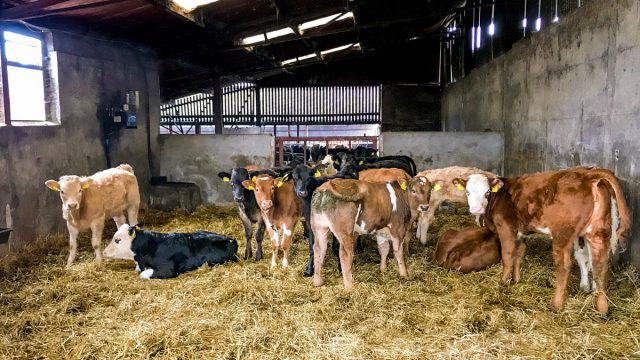 Solving issues with coccidiosis in calves this spring