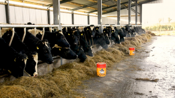 Charolais and Holstein-Friesian steers: What's the difference in growth and feed efficiency?