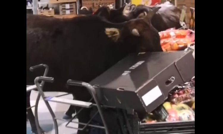 Brazen bovines find feed of different fare…in a supermarket