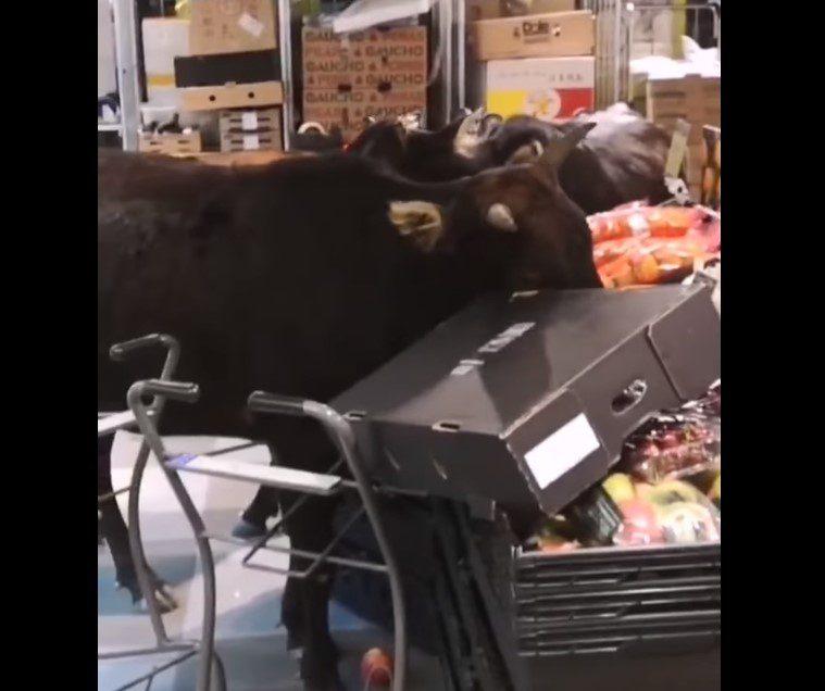 Brazen bovines find feed of different fare…in a supermarket