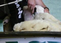 """时尚巨头制造""""母羊""""——打开羊毛禁令"""