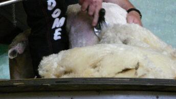 Fashion giant makes swift 'ewe'-turn on wool ban
