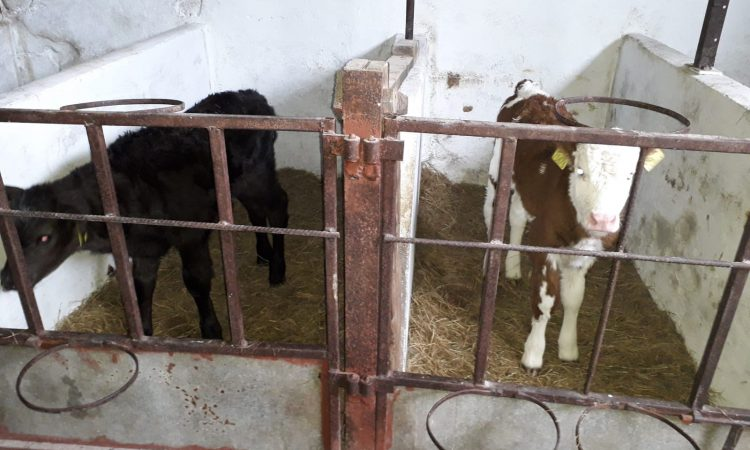Double trouble: Twin calves born…of different breeds