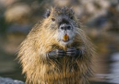 Warning issued as large invasive rodent discovered in Ireland