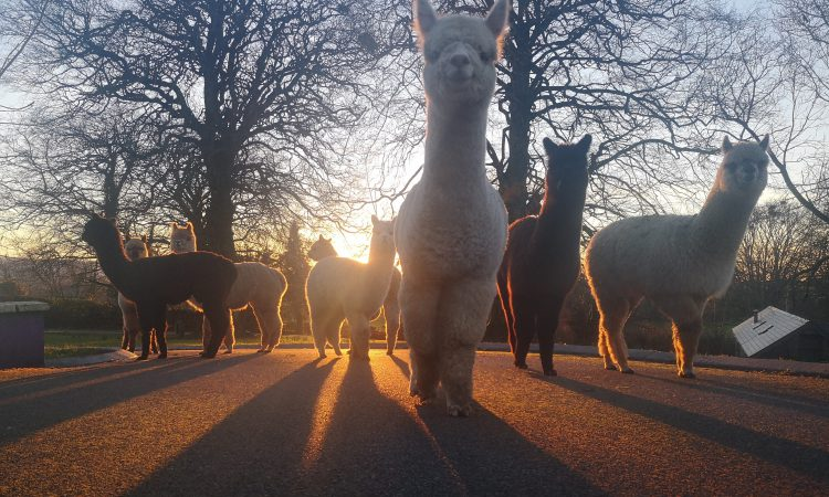 Midlands family tap into 'alpaca tourism' with venture