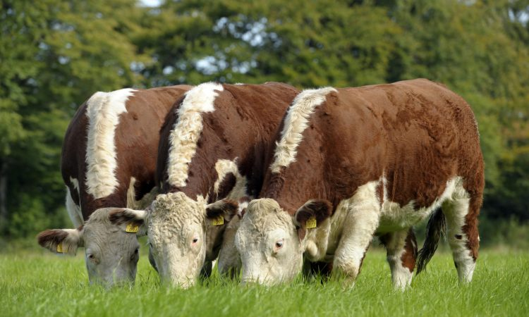 Why Irish Hereford Prime truly is the best of beef