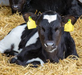 What could have caused an abortion in a cow or heifer?