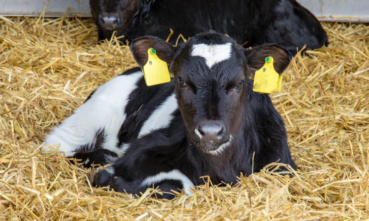 'Contingency plans' needed to deal with dairy calf surge