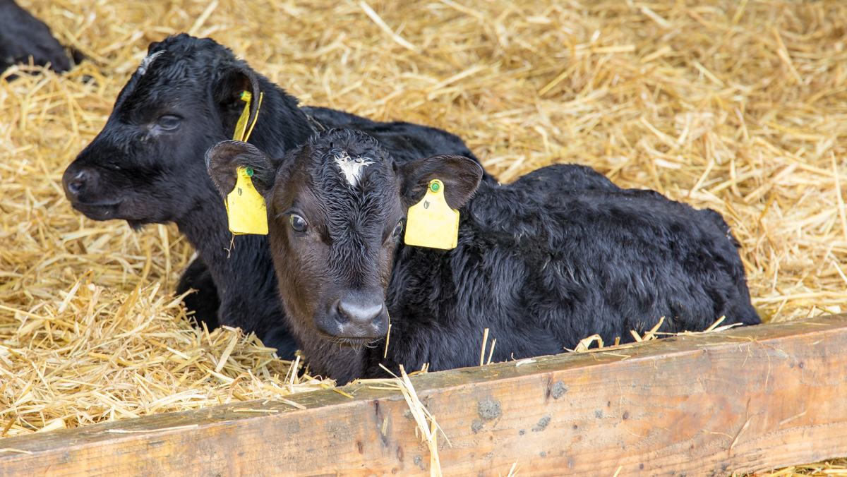 Calf Health Series: Battling scours in young calves