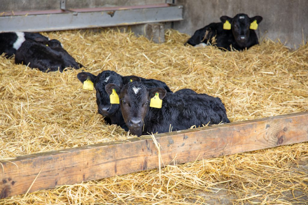 Episode 1 of 'The Calf Show' goes live – Housing and purchasing calves this spring