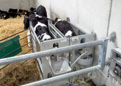 Factors to be considered when it comes to feeding dairy-beef calves