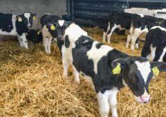 ICMSA批评活体出口商提供的小牛价格
