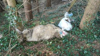 Dead sheep dumped on farmer's land in the south