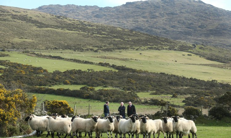 3,000-4,000 sheep affected by dog attacks in Ireland each year
