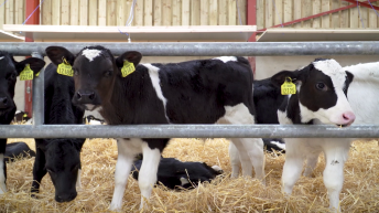 Why relationships with dairy farmers are the key for calf-to-beef finishers