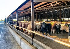 'Feedlot status' beef ineligible for export to China