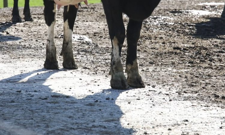 Could improving lameness reduce carbon emissions?