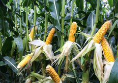 Thinking of growing maize in 2019?