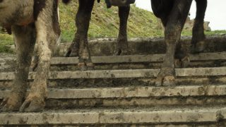Lameness beginning to rear its head on farms…what can I do about it?