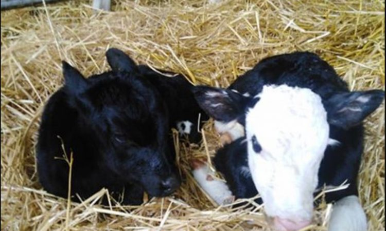 Twins with a twist: 2 calves; 2 sires; 2 breeds