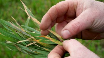 CROPS WATCH: Yellow rust a concern in winter wheat