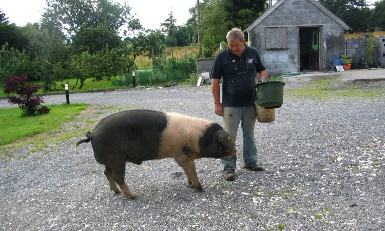 Tipperary couple provide insights into free range pig rearing