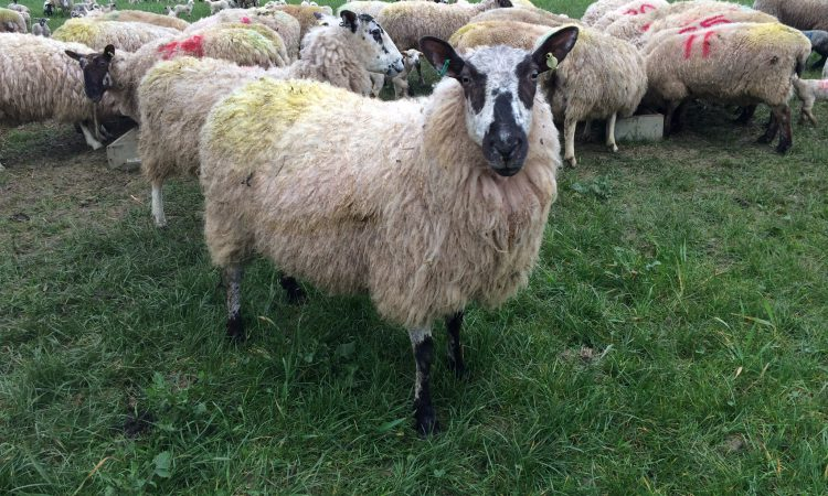 Managing nutrition and internal parasites around lambing time