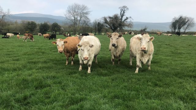 Beef kill: Big increase seen in cow and heifer categories