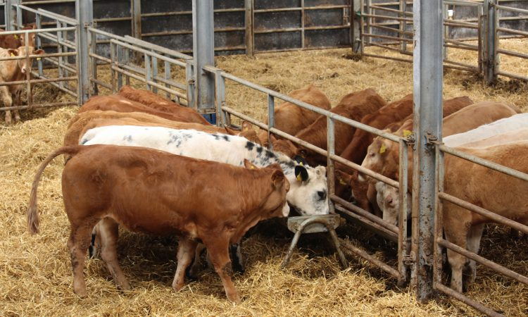 New grain treatment sees 'higher intakes, better growth rates and fat scores' in cattle