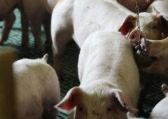 波兰当局确认8000头养猪场的ASF