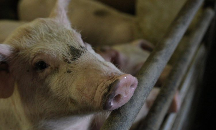 First case of African swine fever reported in Greece