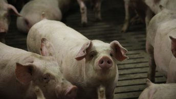 IFA calls on Irish pig processors to 'bridge the price lag'