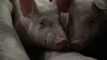 4.7 million pigs culled in Vietnam as African swine fever spreads