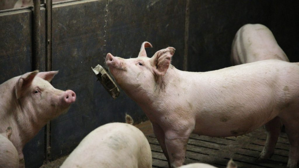 Pig, Pigs