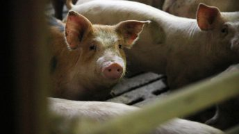 '5 years' needed for Chinese pork production to recover from ASF