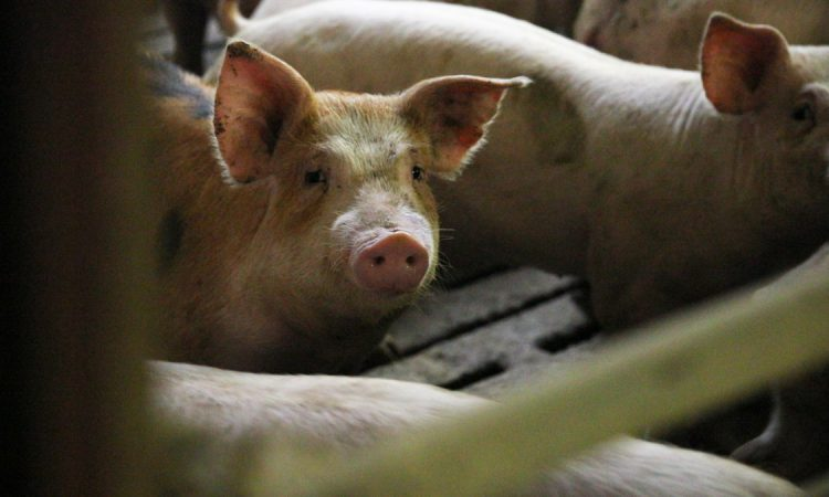 Hogan: 'Pig price rise must continue'