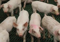 279 swine herds account for 97% of all pigs nationwide
