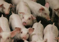 Danish Pig Genetics develops genomic evaluation system for breeding