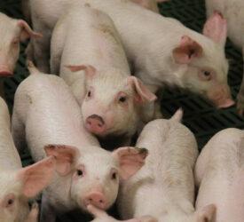 3.6% increase in number of pigs in Ireland – CSO